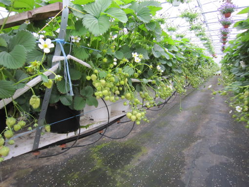 Droppbevattning  med ampeldropp till jordgubbar i växthus