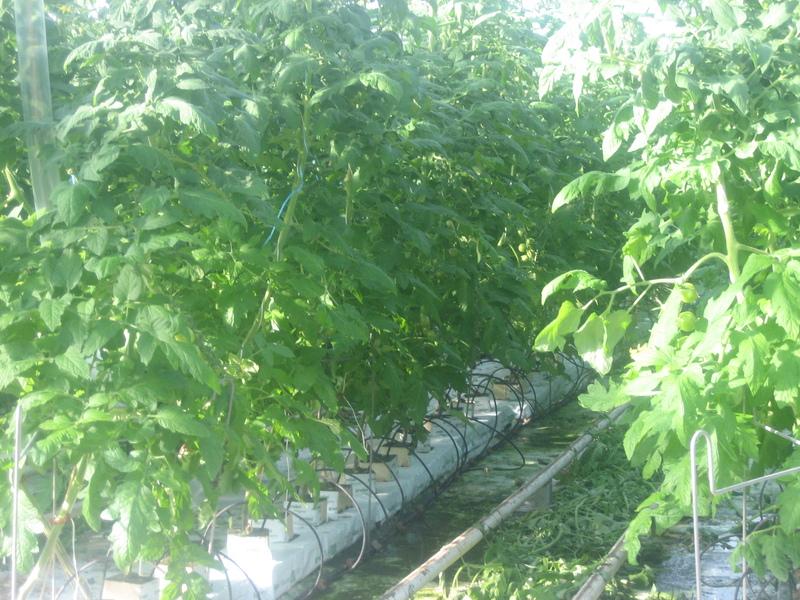 Droppbevattning i tomatodling med droppknappar där både näring och vatten tillförs genom knappen